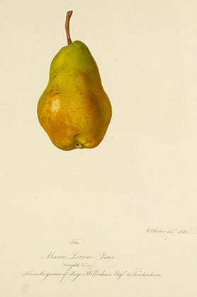 The Marie Louise Pear (weight 8 ½ oz) From the garden of Roger Wilbraham Esq at Twickenham. Signed: W.Hooker del 1821