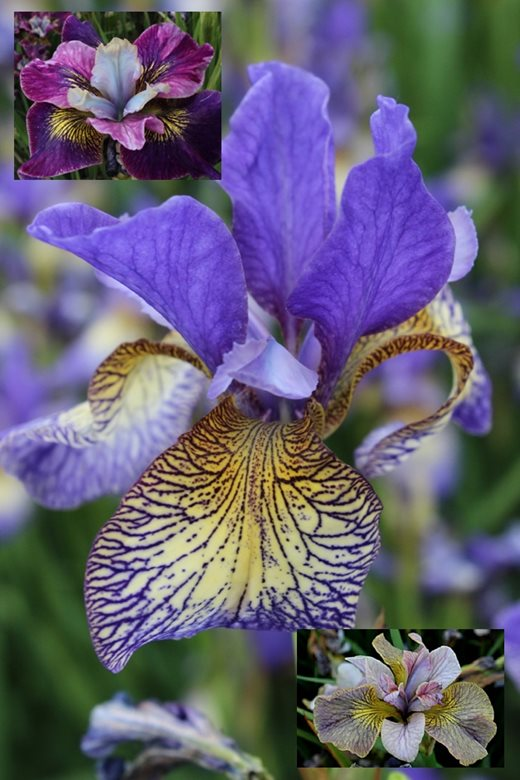Iris sibirica 'Penny Whistle', 'Charming Billy' and 'Unbuttoned Zippers'