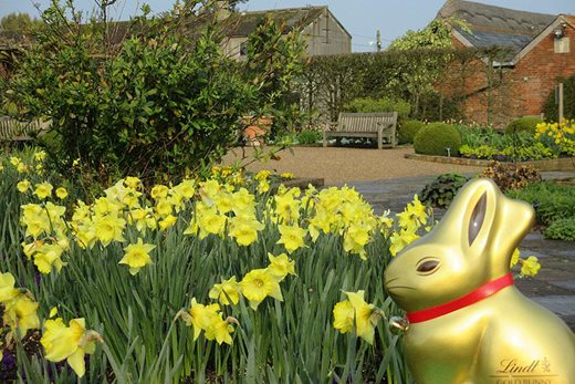 Lindt Gold Bunny with daffodils