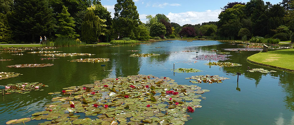 Waterlilies at Burnby Hall