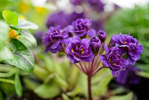 Primula 'Strong Beer'
