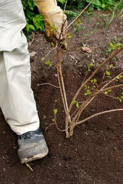 How to plant trees and shrubs rhs gardening - Fir tree planting instructions a vigorous garden ...
