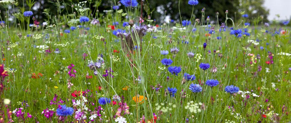 The annual pictorial meadow. Image: Sarah Cuttle