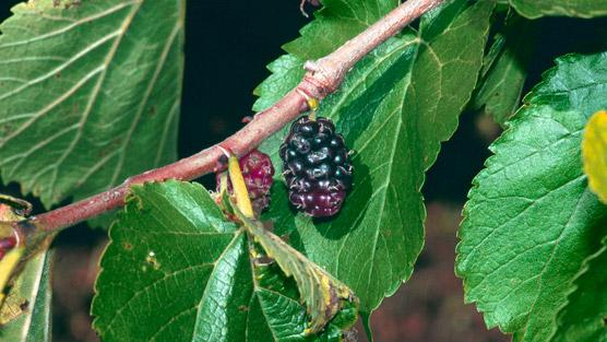 Pictures Of Mulberries