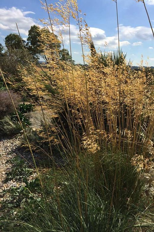 Stipa gigantea in the Dry Garden