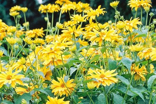See The Rhs Top 10 Best Agm Yellow Daisies Rhs Gardening There are 2967 brown yellow daisy for sale on etsy, and they cost $15.95 on average. yellow daisies rhs gardening