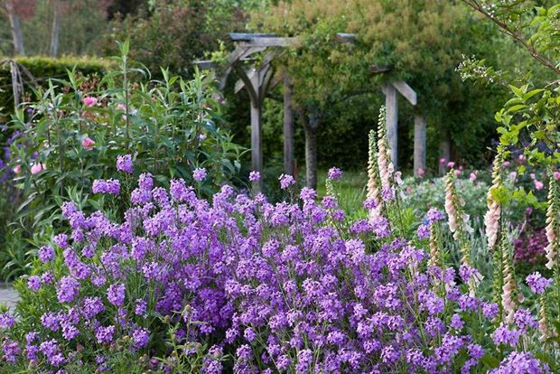 The Cottage Garden With Erysium Bowles Mauve And