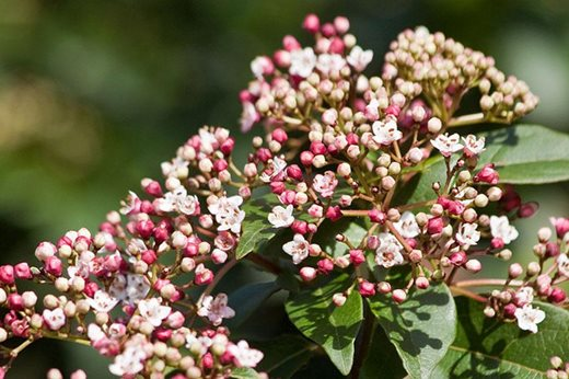 Graham rice choose 10 of his favourite winter flowering shrubs rhs 10 agm winter flowering shrubs mightylinksfo