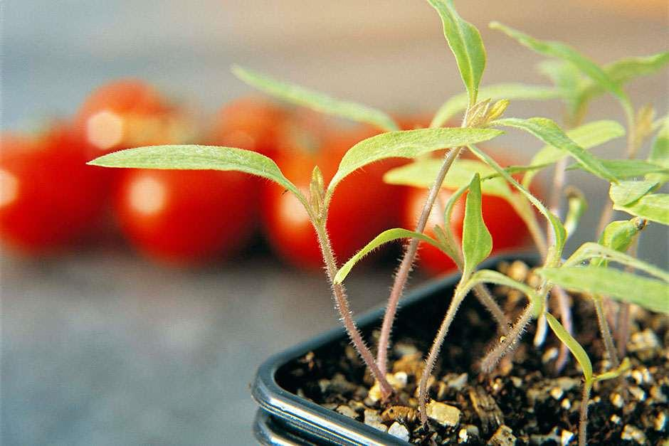 RHS Grow Your Own - Tomatoes