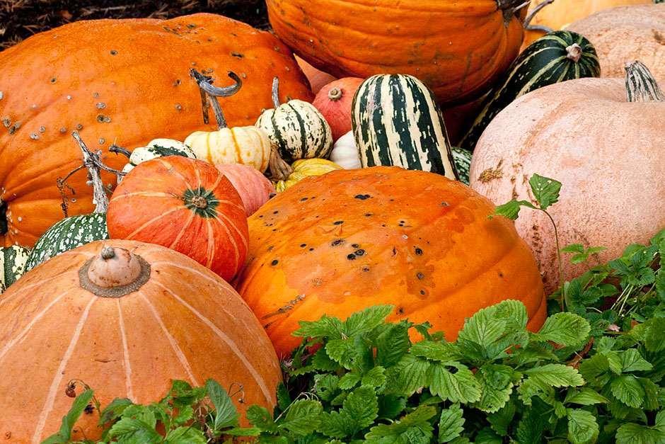 How to grow pumpkins / RHS Gardening
