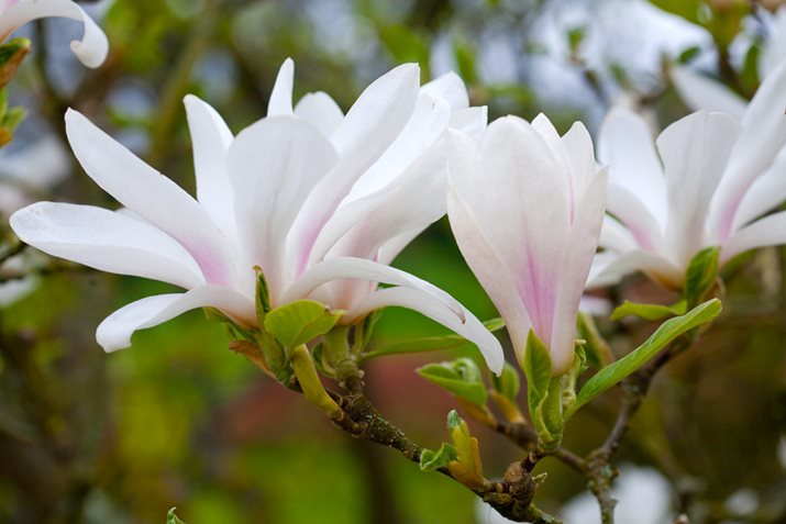 Magnolia denudata Dorling Kindersley Ltd