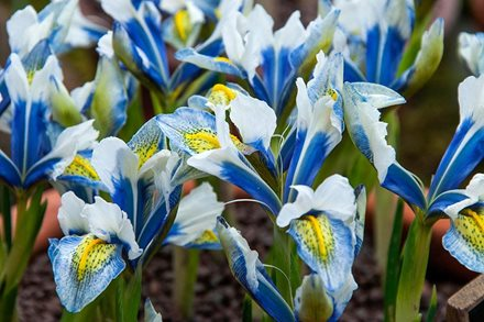 Exciting new varieties of spring-flowering iris are available; now is the time to plant them
