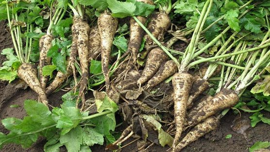 How To Grow Parsnips Rhs Gardening