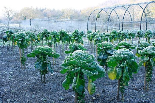 Brussels sprouts in the fruit and vegetable garden