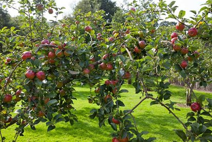 Apples thriving in the orchard at RHS Garden Rosemoor