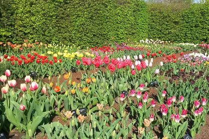Tulips at Wisley 2015