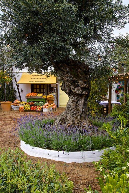olea europaea - Mediterranean Garden