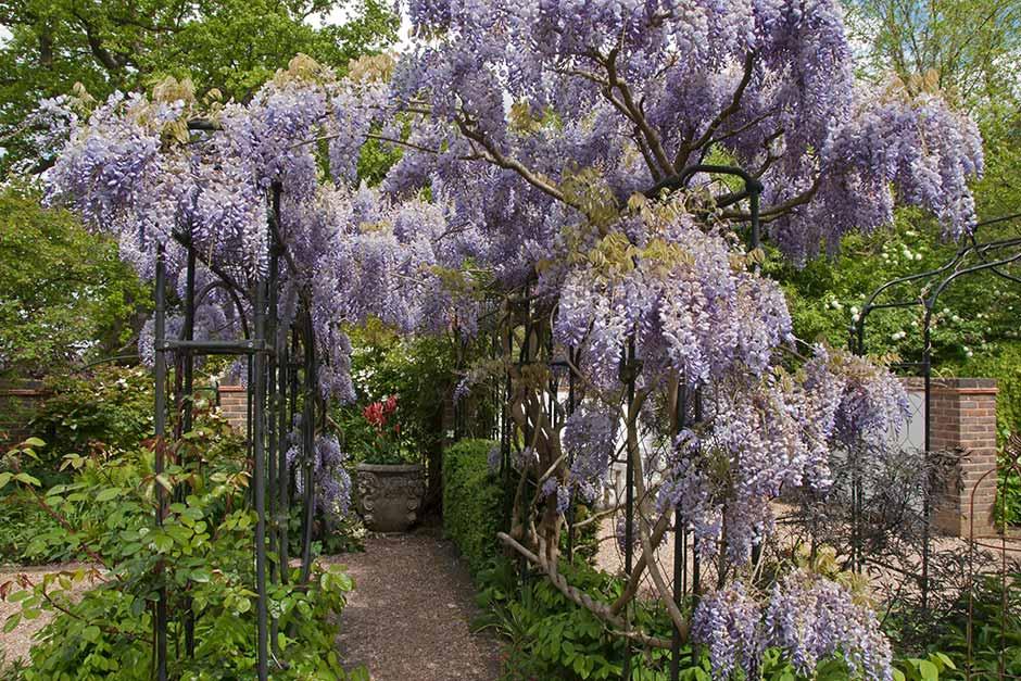 How To Grow Wisteria Rhs Gardening
