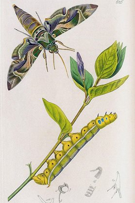 Hand-coloured plate of the oleander hawk moth and caterpillar, Daphnis nerii, from Curtis's British Entomology, 1823-1840.