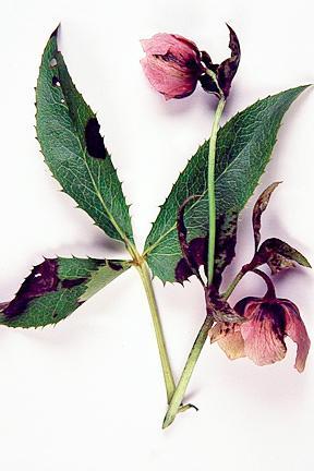 hellebore leaf spot