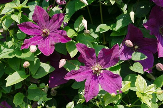 view the top 10 agm clematis chosen by rhs plantsman. Black Bedroom Furniture Sets. Home Design Ideas