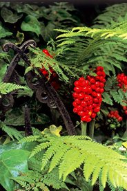The berries of arum lilies make an attractive combination with ferns