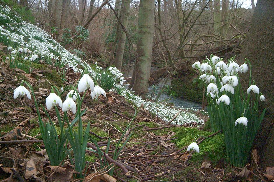 Snowdrops at Cambo Estate