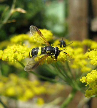 Hoverfly on fennel flowers