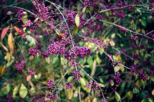 Bring Colour To Your Garden With Berrying Shrubs Rhs