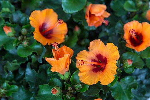 Hibiscus 'Petit Orange'