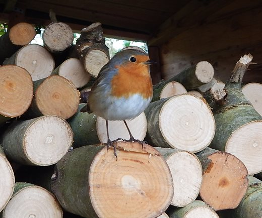 Our friend, the robin