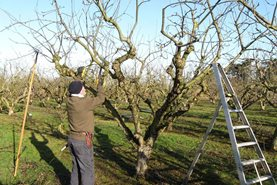 Pruning apple trees in the orchard at RHS Garden Wisley