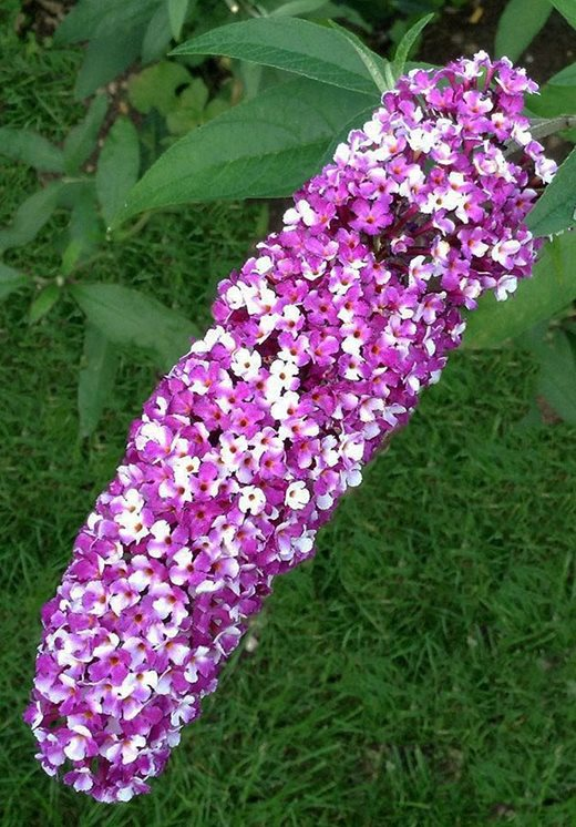 Graham Rice new plants blog: bicoloured buddleia