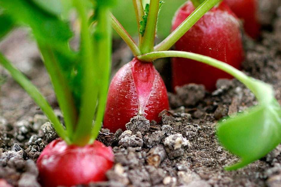 Radish Plants Growing On Net Covered Stock Photo 47502997 ...