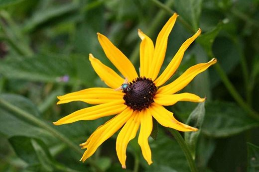 See the rhs top 10 best agm yellow daisies rhs gardening rudbeckia fulgida mightylinksfo