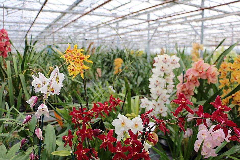 Mcbeans orchids