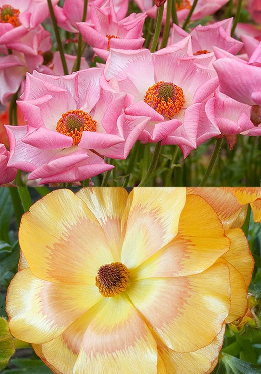 Ranunculus 'Rococo Pink' and 'Rococo Apricot'