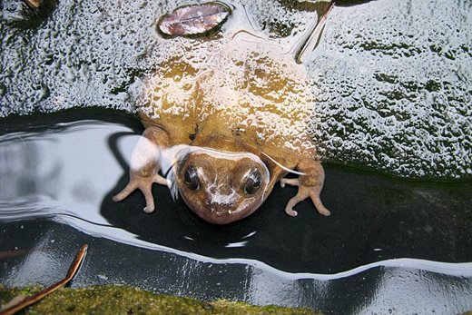 common frog in icy pond