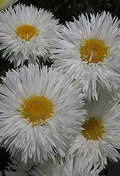 Leucanthemum x superbum 'Shapcott Summer Clouds' is listed by eight nurseries in the 2014 RHS Plant Finder.