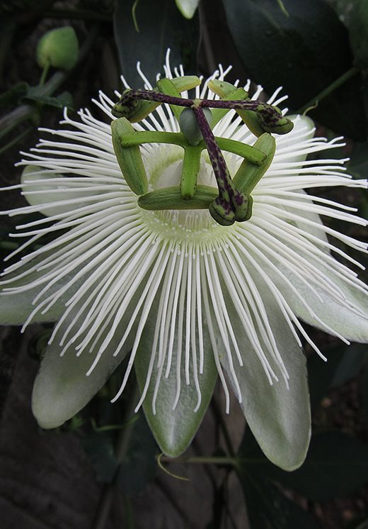 Rhs Graham Rice New Plants Blog Passiflora Snow Queen Rhs