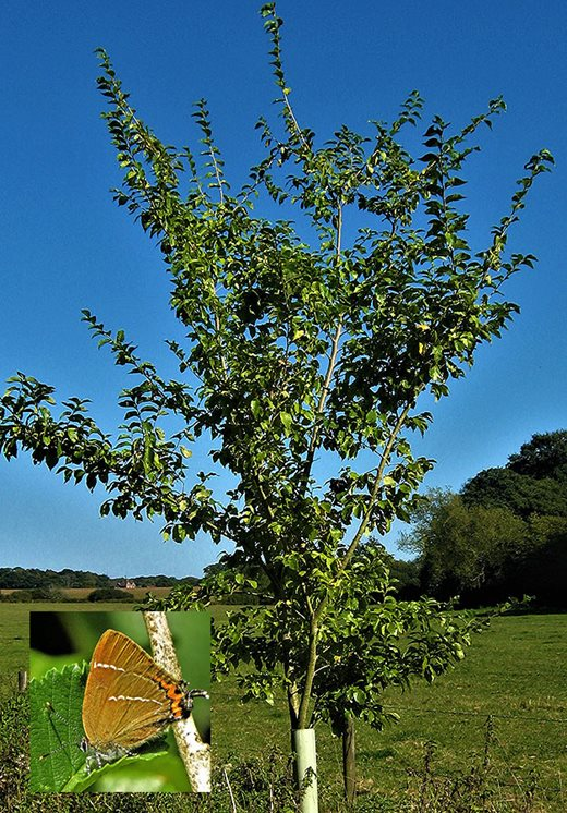 Ulmus 'Wingham' and the White-letter Hairstreak butterfly