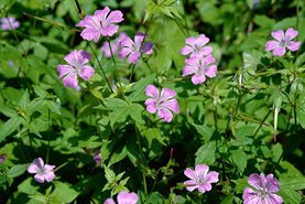 Don't be fooled by the charming flowers of Geranium nodosum. Plant at your peril!