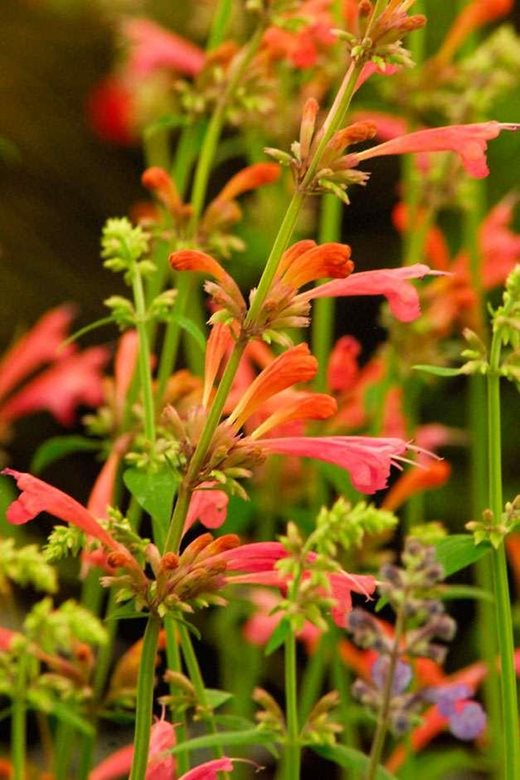Agastache Tangerine Dream can be used as bedding