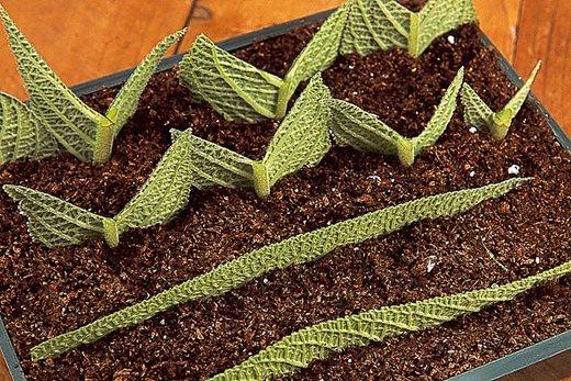 Streptocarpus leaf cuttings