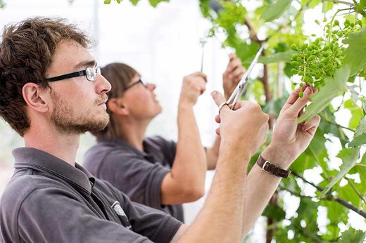 students grape thinning