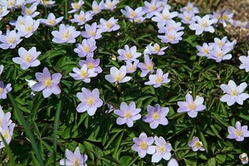 Anemone nemorosa 'Robinsoniana', named for William Robinson