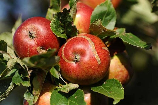 Fruit Basics Fruit Pests And Diseases Rhs Gardening