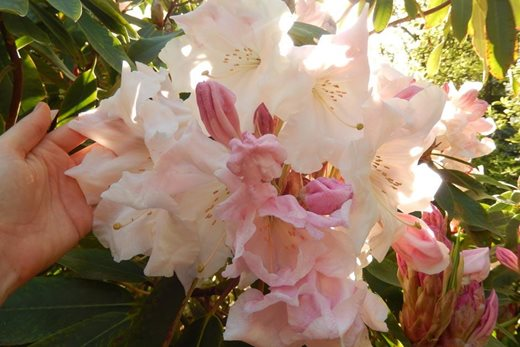 Rhododendron (Loderi Group) 'Loderi King George'