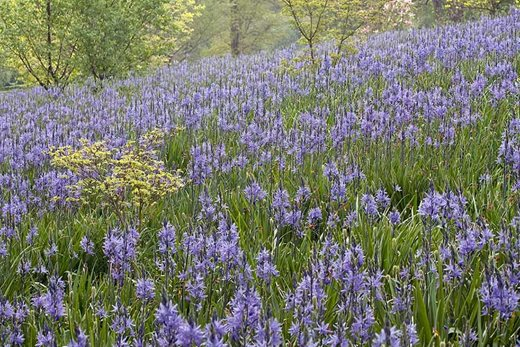 Camassias on Weather Hill