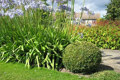 Box ball and agapanthus at RHS Garden Hyde Hall